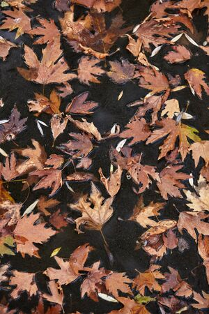 Autumn leaves floating on a river.Background,texture.