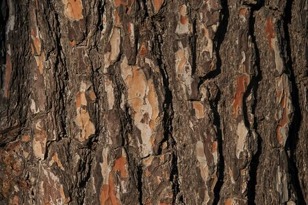 Closeup view of pine trunk as background.