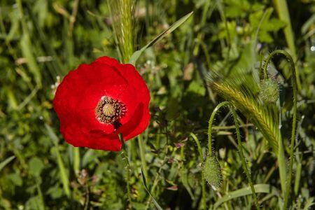 poppy flower in the meadow.