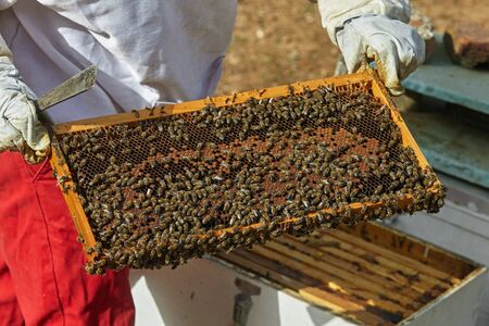 beekeeper holds a honeycomb with bees in his hands. Standard-Bild