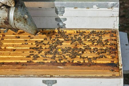 apiarist using the bee smoker