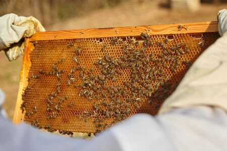 beekeeper holds a honey cell with bees.