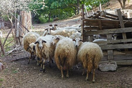 several sheep in the barn