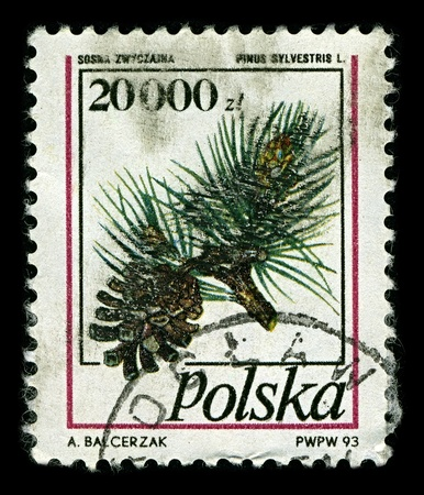 pinus sylvestris: POLAND-CIRCA 1993:A stamp printed in POLAND shows image of Pinus sylvestris, commonly known as the Scots Pine, is a species of pine native to Europe and Asia, ranging from Scotland, Ireland and Portugal in the west, east to eastern Siberia, circa 1993.