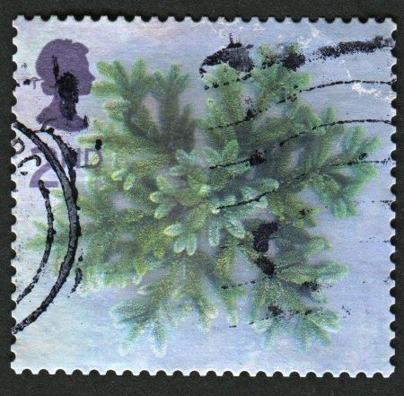 mediaval: UK - CIRCA 2002: A stamp printed in UK shows image of the Blue Spruce Star, circa 2002.
