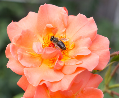 stamen wasp: The wasp sitting on a flower.