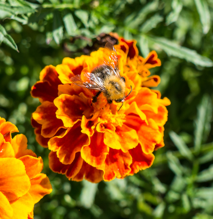 stamen wasp: The bumblebee sitting on a flower. Stock Photo