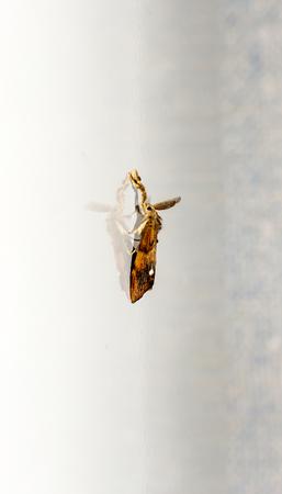 The Orange moth (Triodia sylvina). Stock Photo