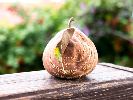 The nature vegetable colored rotten Apple. Stock Photo