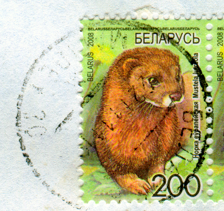 torn: GOMEL, BELARUS, APRIL 13, 2017. Stamp printed in Belarus shows image of  The Mustela lutreola, circa 2008. Editorial