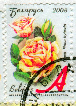 perforated: GOMEL, BELARUS, APRIL 13, 2017. Stamp printed in Belarus shows image of  The Rosa hybrida, circa 2008.