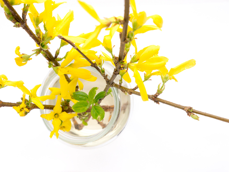 lamiales: The flower Forsythia object. Stock Photo