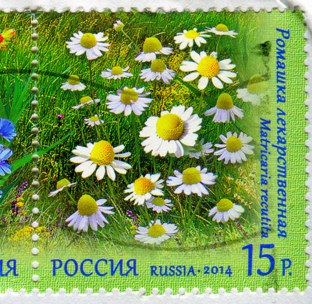 GOMEL, BELARUS, 13 OCTOBER 2017, Stamp printed in Russia shows image of the Matricaria recutita, circa 2014.