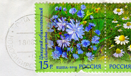 perforated: GOMEL, BELARUS, 13 OCTOBER 2017, Stamp printed in Russia shows image of the Cichorium intybus, circa 2014.