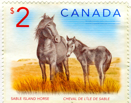 GOMEL, BELARUS, 13 DECEMBER 2017, Stamp printed in Canada shows image of the Sable Island Horse, circa 2017.
