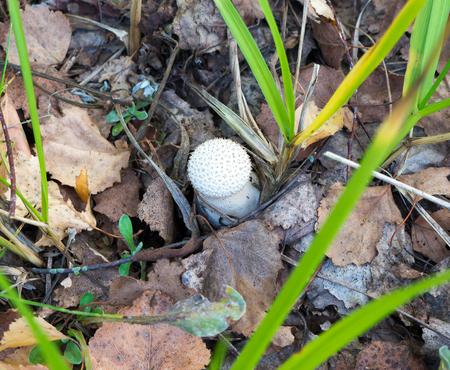 The nature vegetable mushroom Amanita abrupta on a forest background.