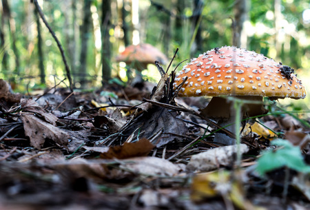 The nature vegetable mushroom amanita on a forest background. Stock Photo