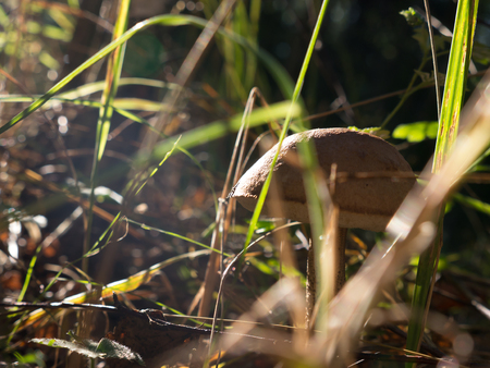 The nature vegetable mushroom on a forest background. Stock Photo