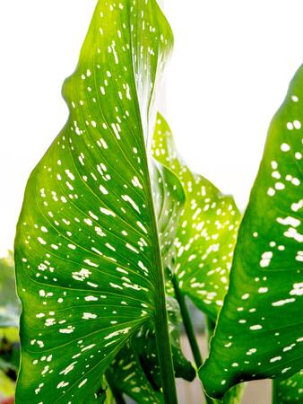 The green Leaf background.