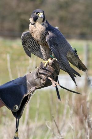 Hawk and handler
