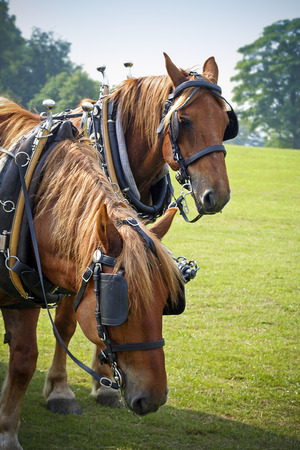 shire horse: Shire horses in sunny field resting at country fair