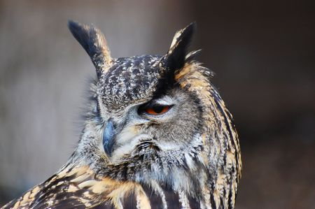 revolved: eagle owl with head revolved looking over its shoulder