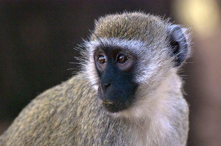 quizzical: Perfil de negro se enfrent� a mono tit�  Foto de archivo