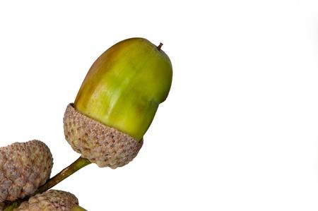 english oak: green english oak acorn isolated  Stock Photo