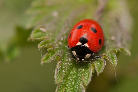 coccinellidae: ladybird or coccinellidae close up