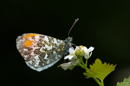 orange tip butterfly  in profile  Stock Photo - 10704271
