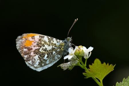 orange tip butterfly  in profile Stock Photo - 10704271