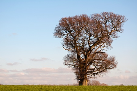 english oak: lone oak in english winter countryside Stock Photo