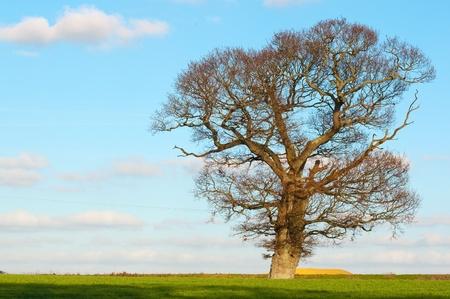 english oak: english oak stands proud in countryside Stock Photo