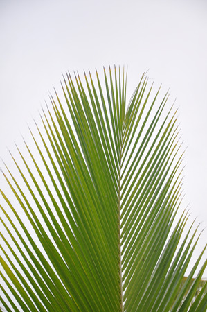 palm frond: tropicale palm fronda