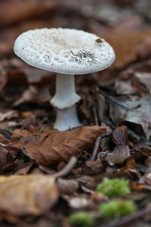 fungi: parasol fungi in uk woodland