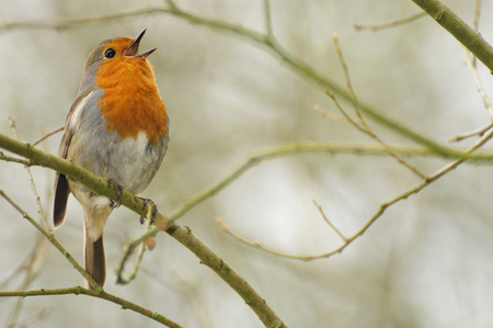 robin singing in uk woodland