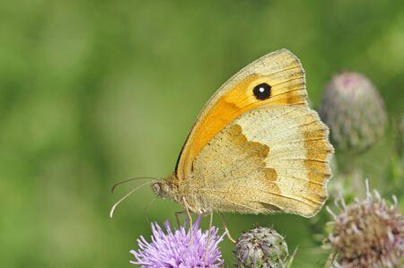 gatekeeper butterfly in summer on thistles in meadow southern england Standard-Bild