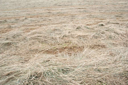 field of hay cut and waiting for bailing once dried out