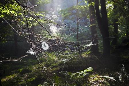 Spiderwebs in forest