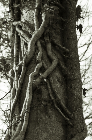 stifle: Tree creepers Stock Photo