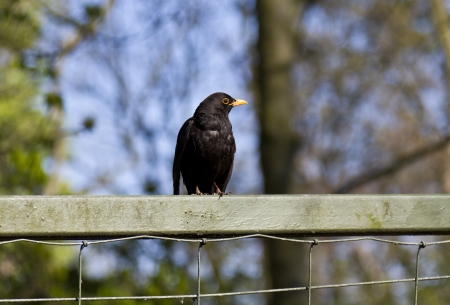 Starling perched on fence
