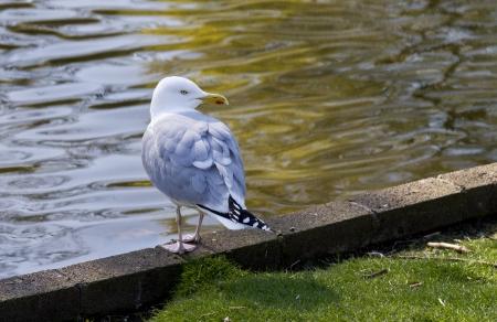 Herring Gull on ledge beside water