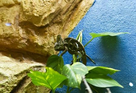 Chameleon on branch Stock Photo - 19026005