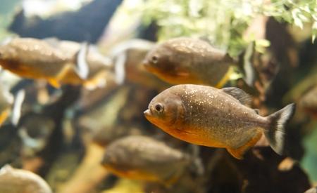 Shoal of piranha