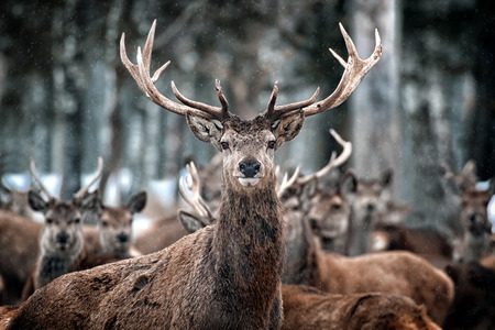 Red Deer Stag and Herd  Cervus elaphus   in the Scottish Winter Snow