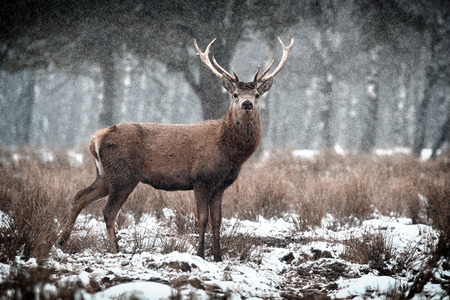 stag horn: Red Deer Stag  Cervus elaphus   in the Scottish Winter Snow Stock Photo