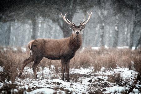 Red Deer Stag  Cervus elaphus   in the Scottish Winter Snow Stockfoto