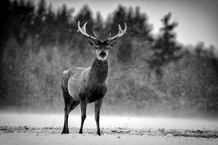 Red Deer Stag  Cervus elaphus  in the Scottish Winter Snow  Black   White Image