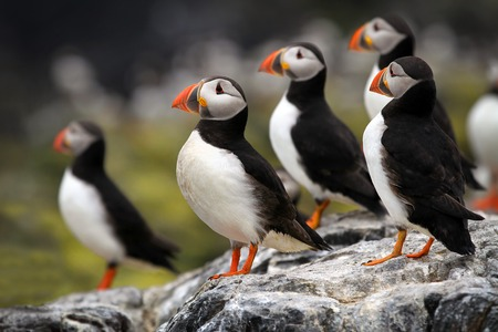 isle: Atlantic Puffins  Fratercula arctica  stood on cliff top