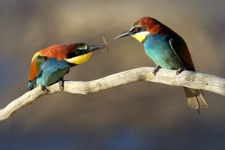 courtship: Male   Female European Bee-eater  Merops apiaster  perched on a branch  Male passes female an insect gift during courtship  Stock Photo